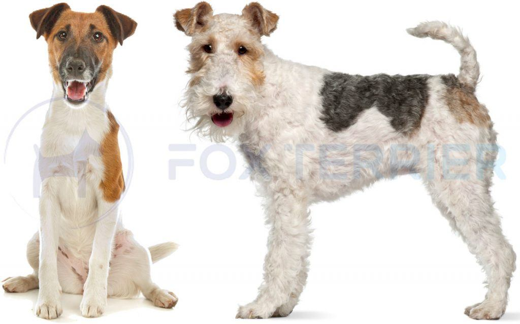 les 2 types de fox terrier