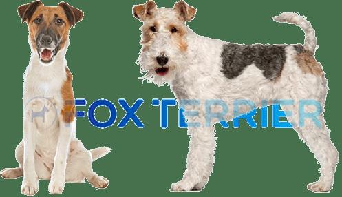 Fox Terrier Tout Savoir Sur Cette Race De Chien