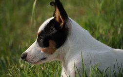 Ecoute fox terrier