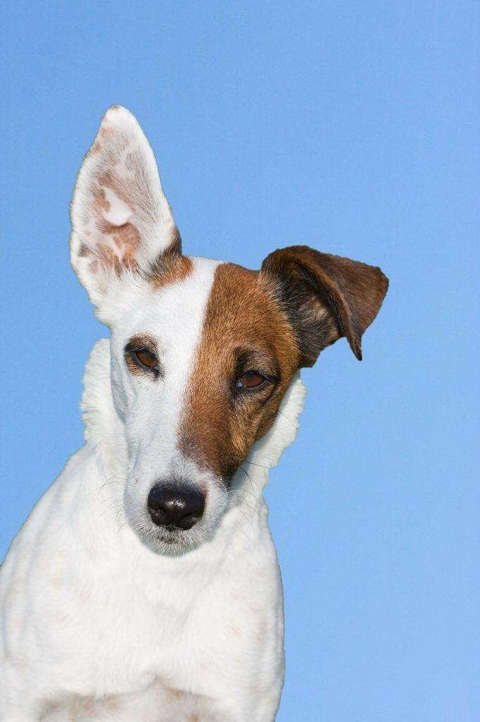 obéissance fox terrier
