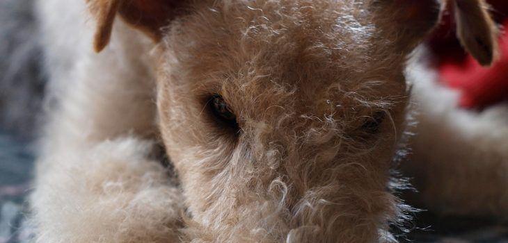 Puces et tiques fox terrier