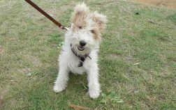 au pied fox terrier
