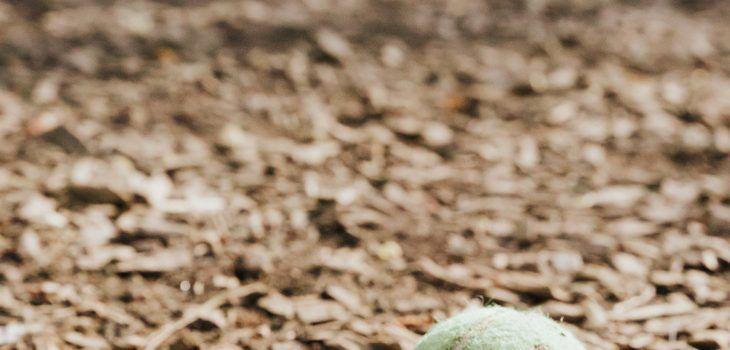 Fox terrier balle